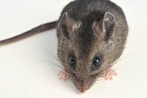 What Homeowners Should Know About Deer Mice